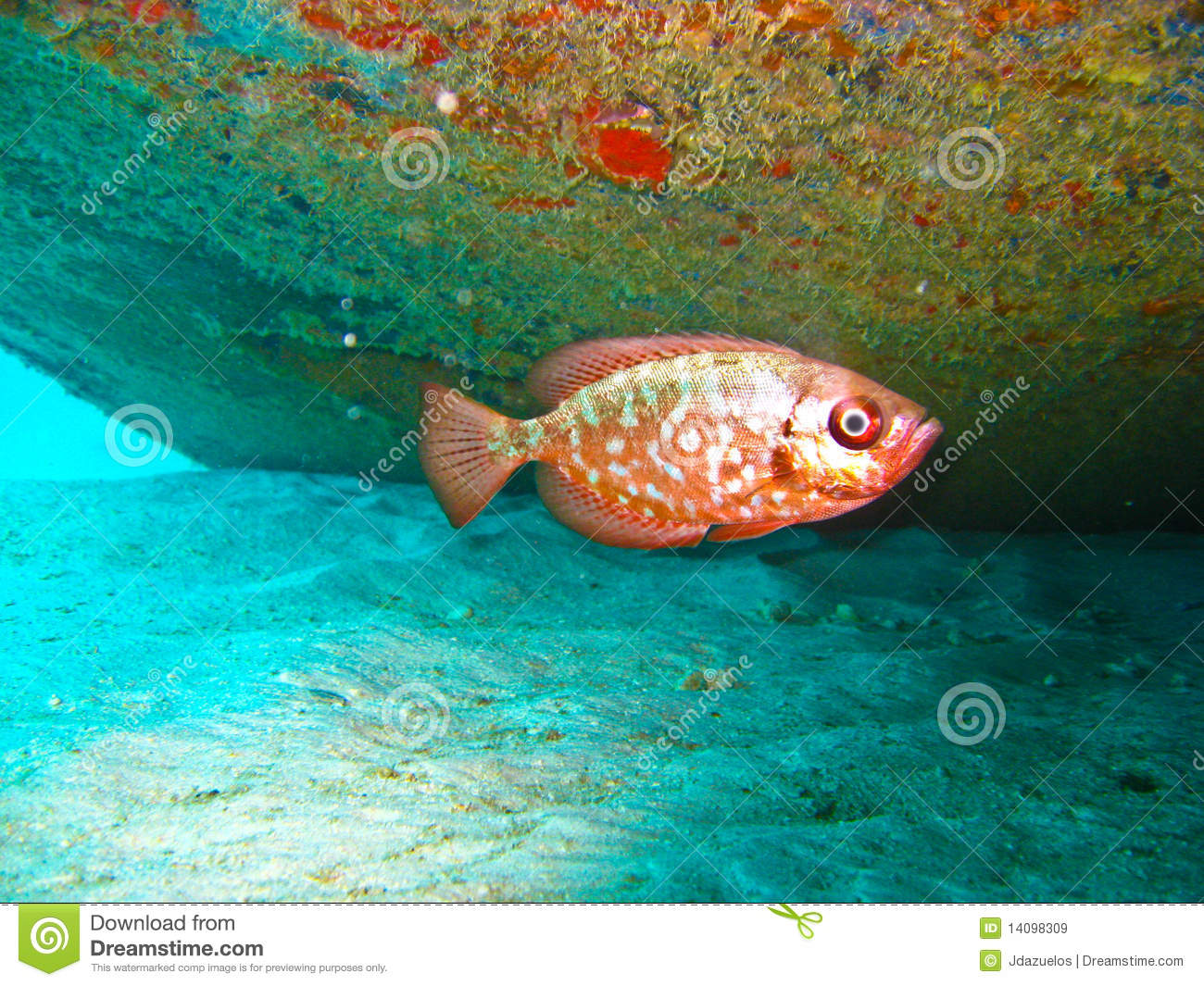 Red tropical fish royalty free stock images image 14098309 for Kumak s fish