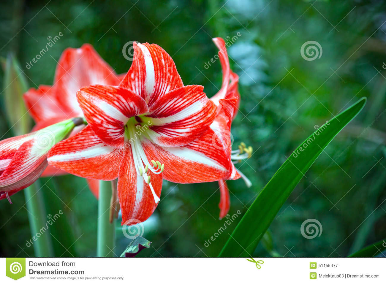 red tropical flower stock photo  image, Beautiful flower
