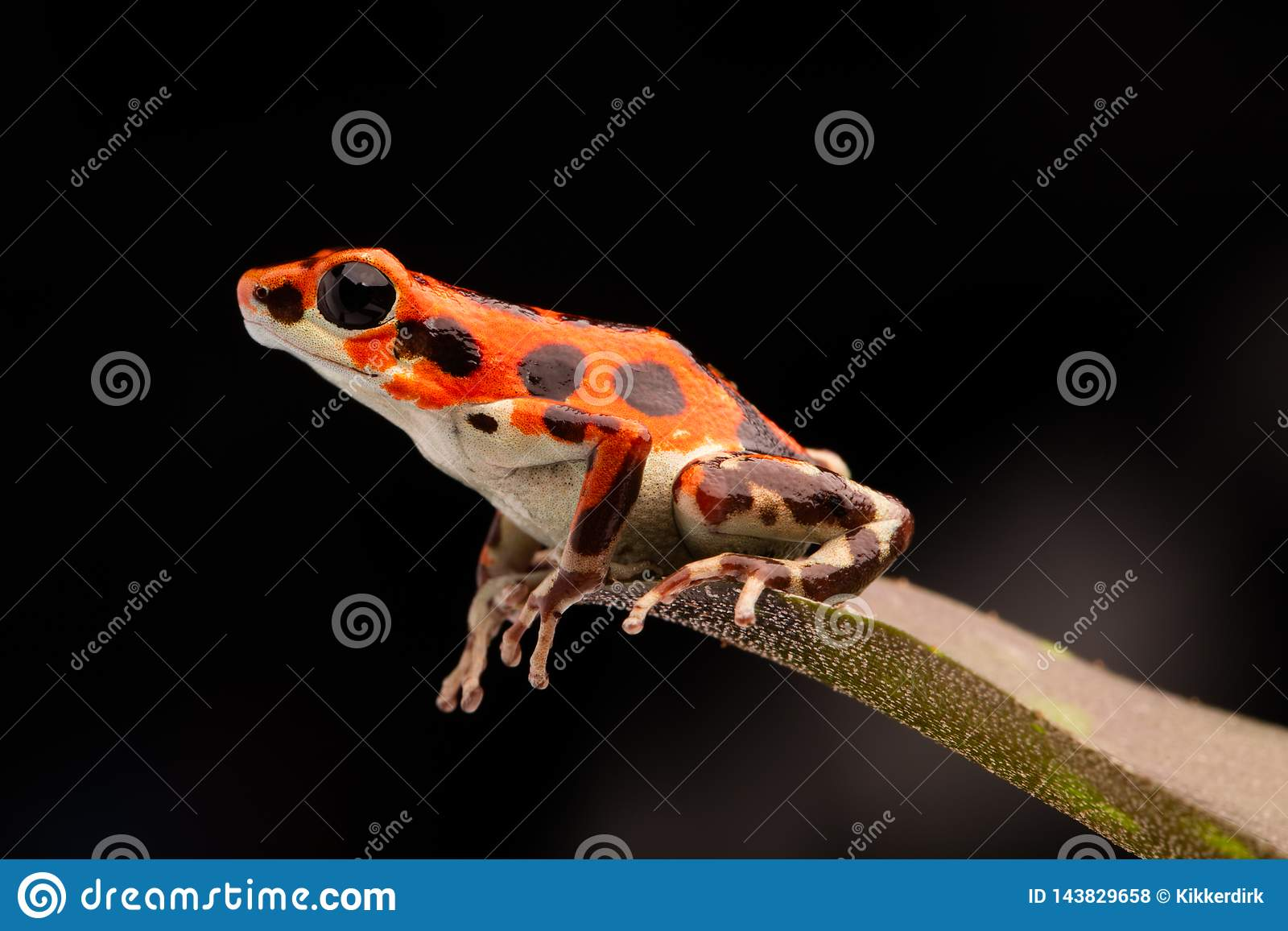 Red tropical poison dart frog