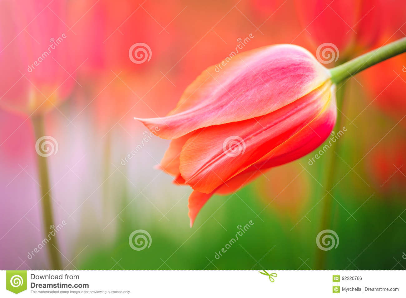 Red tulip on the background of green grass close-up.