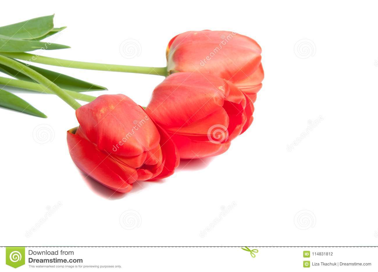Red tulip beauty flower stock photo image of tulip 114831812 download red tulip beauty flower stock photo image of tulip 114831812 izmirmasajfo