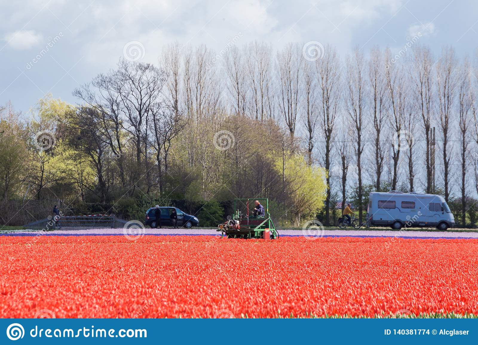 Red tulip fields against a background of tall trees and people visiting them in the Dutch springtime