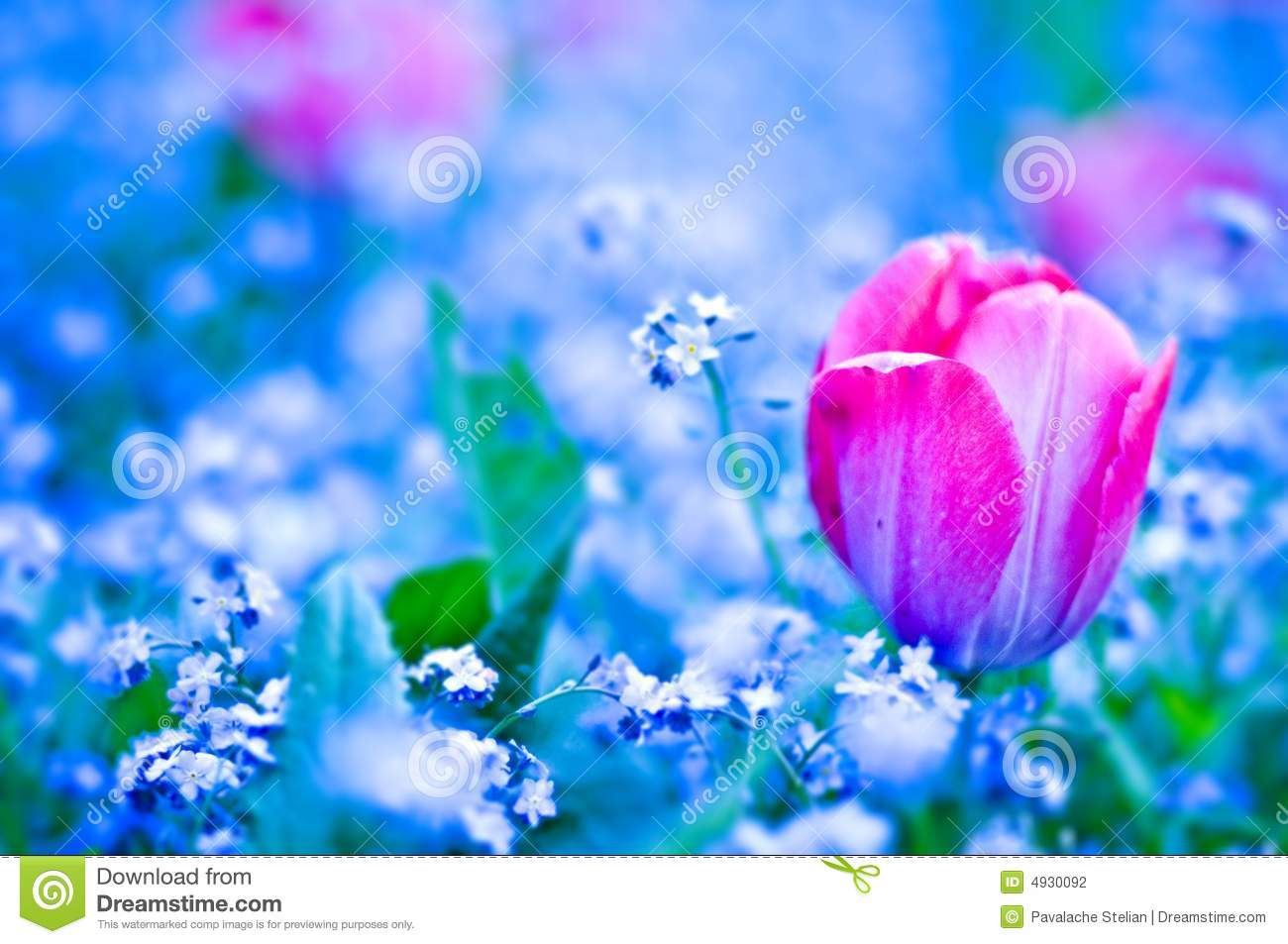 Red Tulip Flower On Blue Filed Stock Photography - Image: 4930092