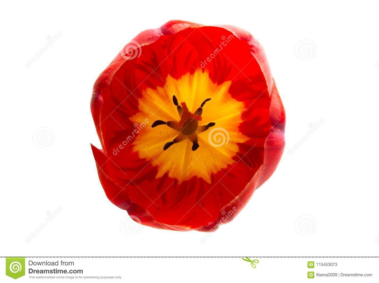 red tulip flower isolated