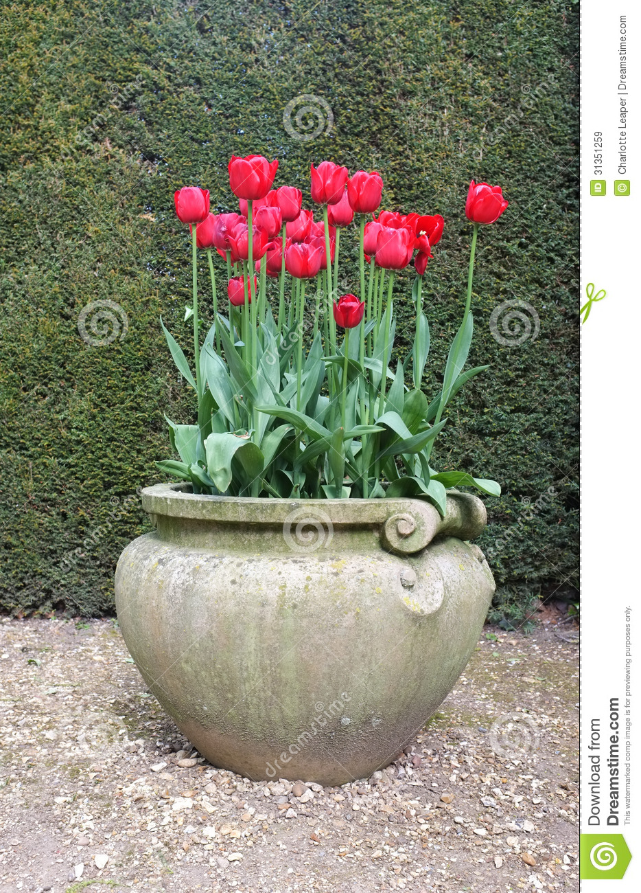 Red Tulip Flowers In Antique Vase Royalty Free Stock Images Image 31351259