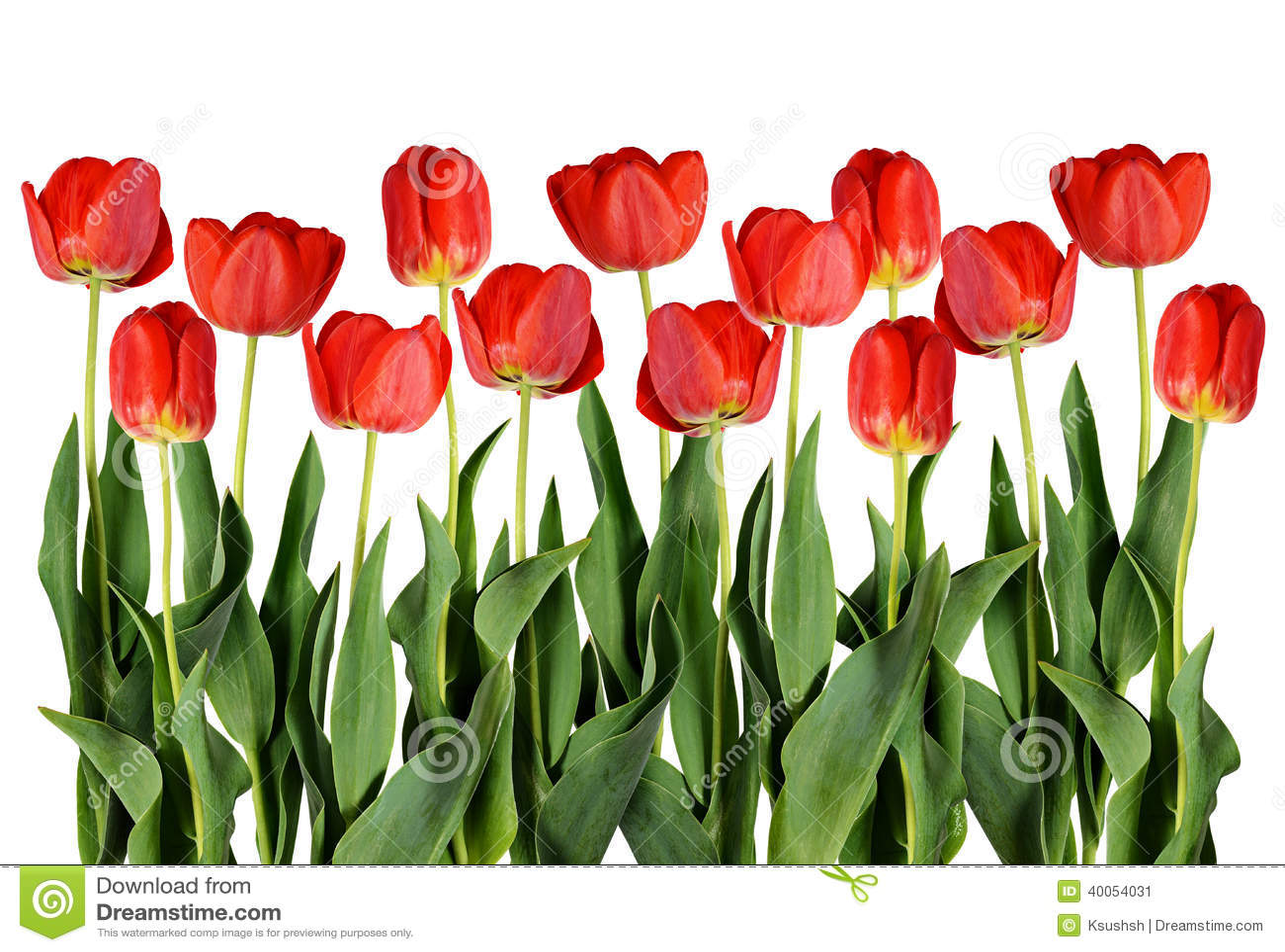 red tulip flowers. stock image  image, Beautiful flower