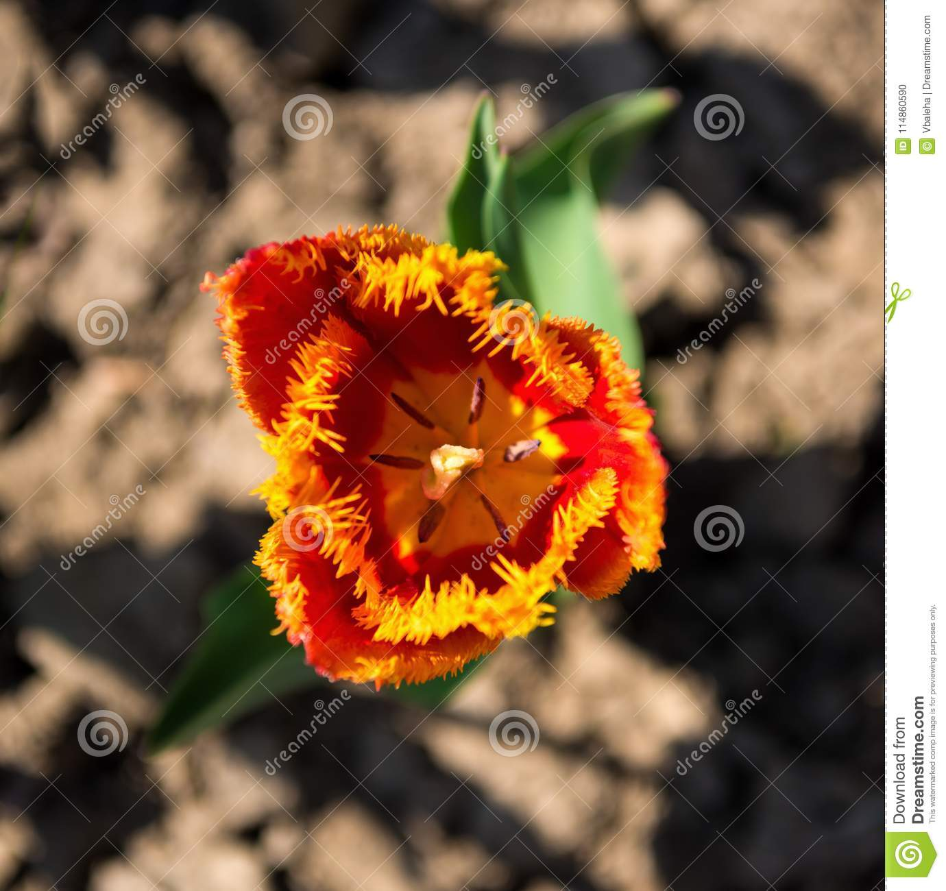 Red Tulip Flowers With Yellow Tips In Natural Environment Stock