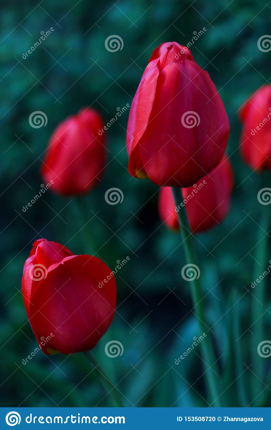 Red tulip growing on a field in green grass