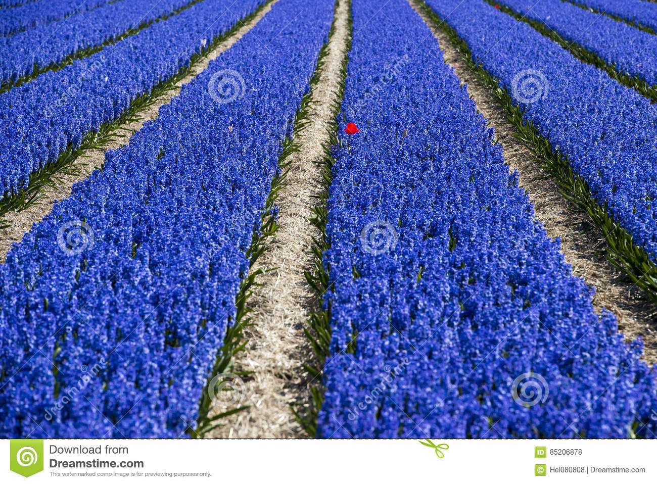Red tulip in lushly blue hyacinth field