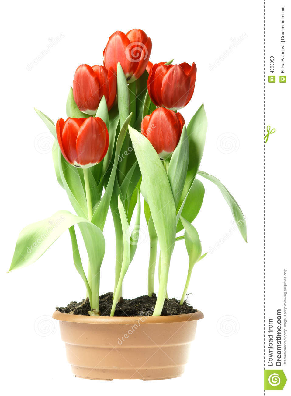 Red Tulips Stock Photos - Image: 4636053