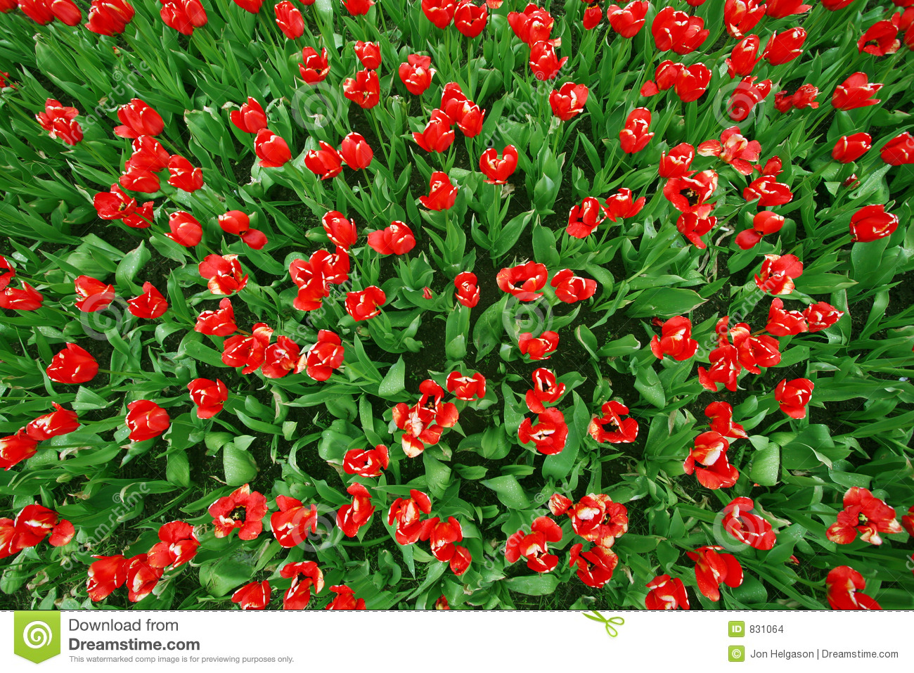 Red tulips Birds view