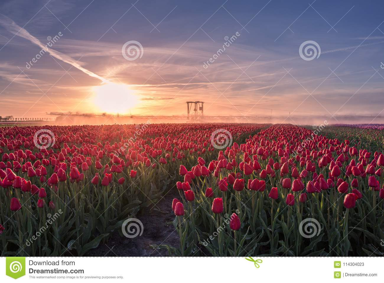 Red tulips farm landscape with sprinkler system other perspective