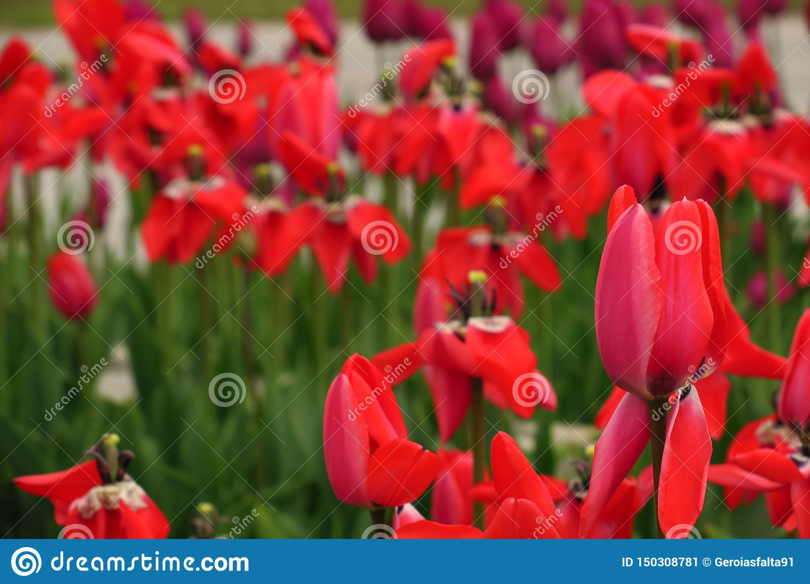 Red tulips field in Netherlands. Red tulip fields. Red tulips view. Red tulip fields in Holland