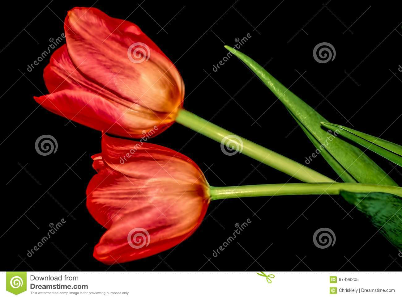 Red Tulips Stock Image Image Of Many Meaning Flamed 97499205