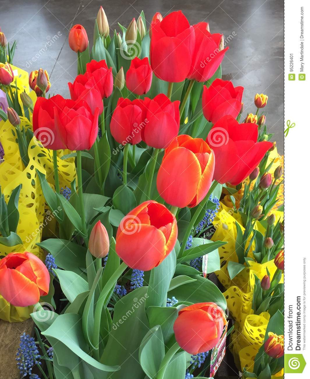 Red Tulips Stock Image Image Of Cellophane Flowers 95226401