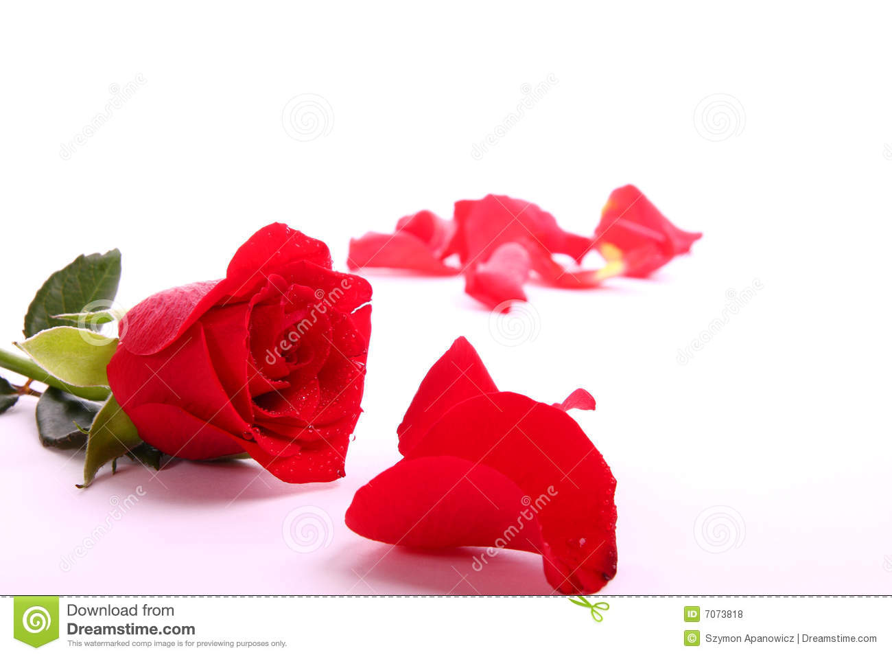 red valentine rose royalty free stock photos  image, Natural flower