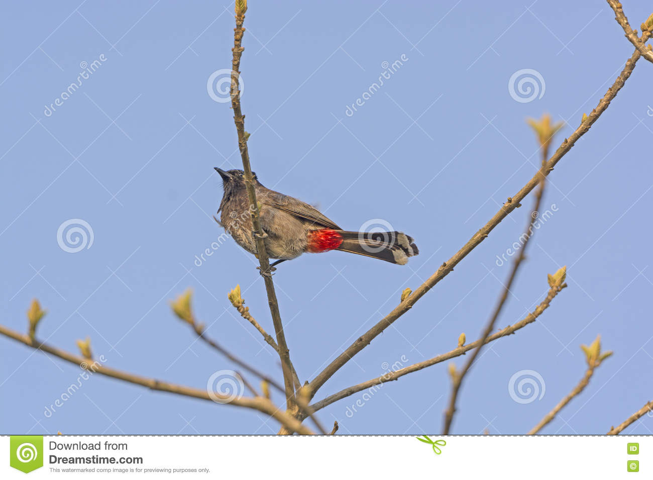 Red Vented Bulbul in a Tree