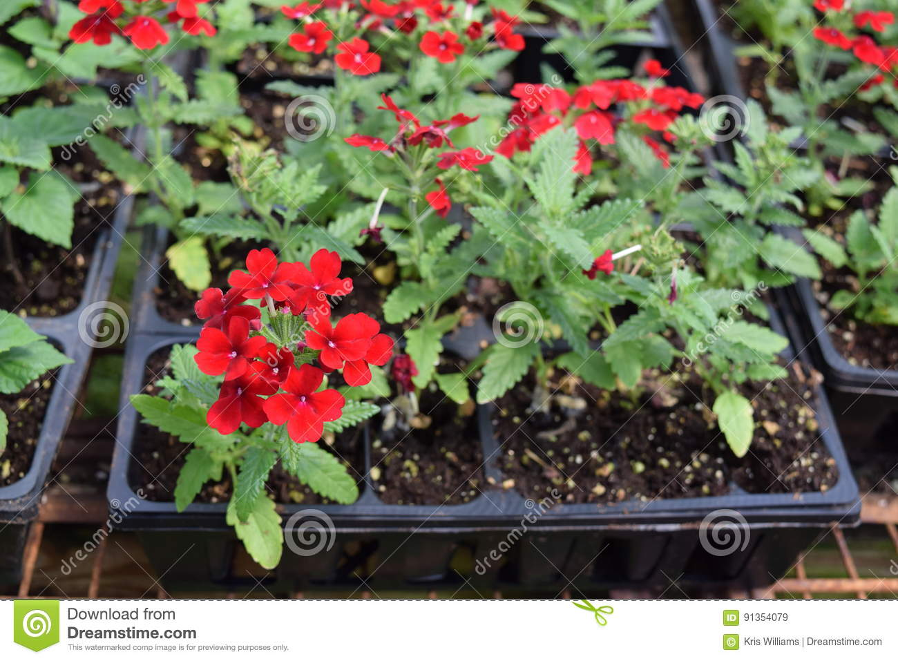 Red Verbena bunches in nursery flat