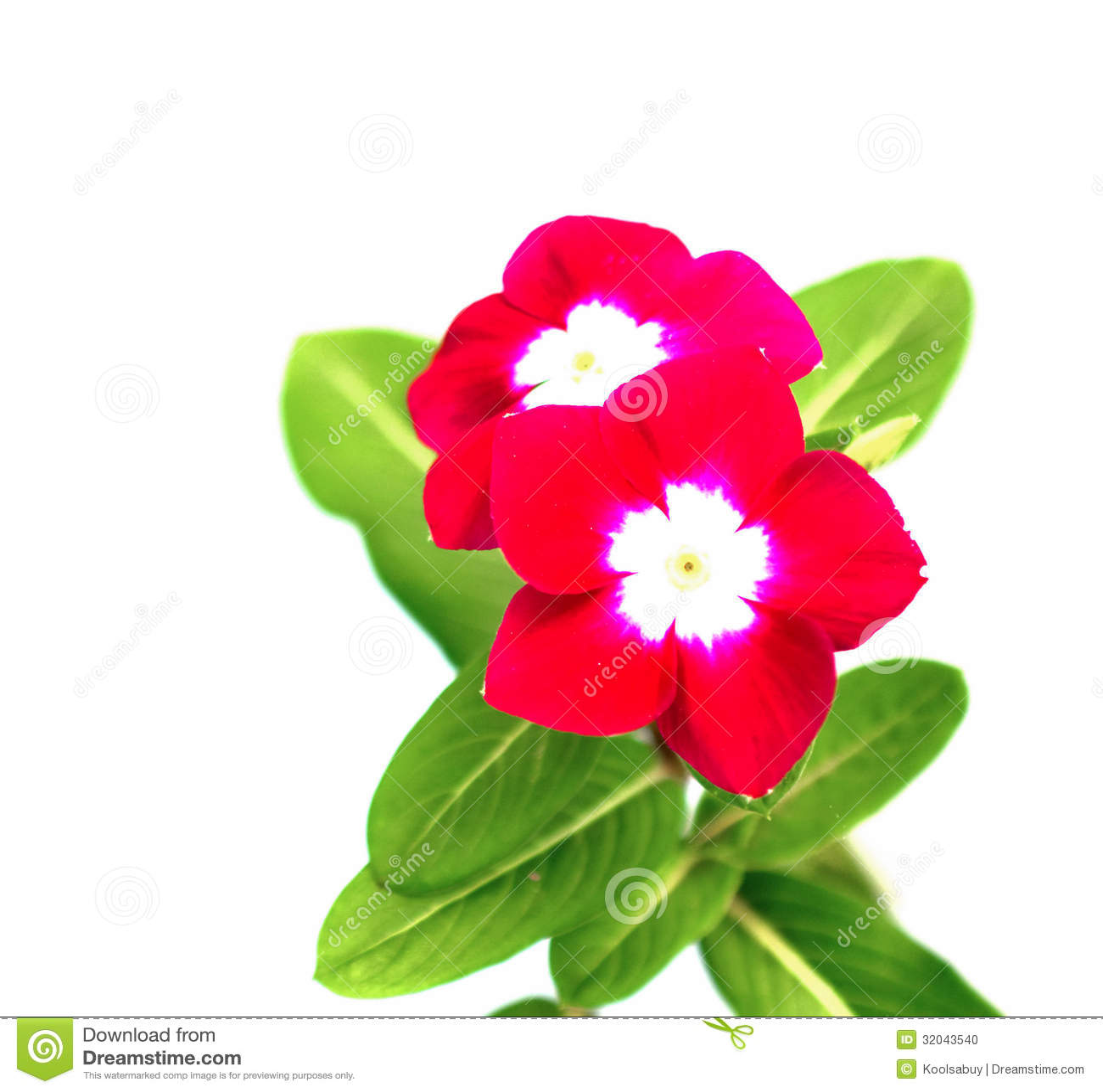 Red Vinca flowers stock photo. Image of macro, ornamental - 32043540