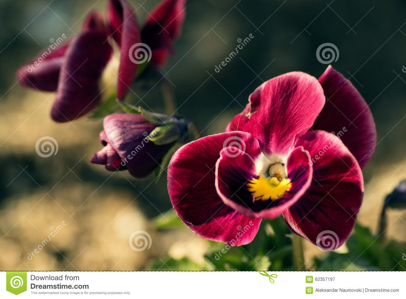 Red Violet Flower Stock Photo - Image: 62357197