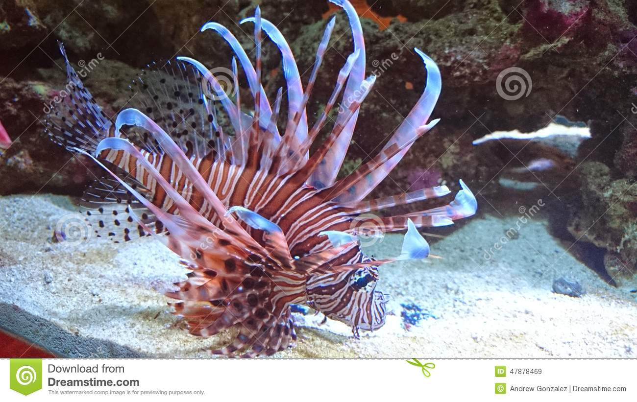 Red Volitan Lionfish stock image. Image of many, species ...
