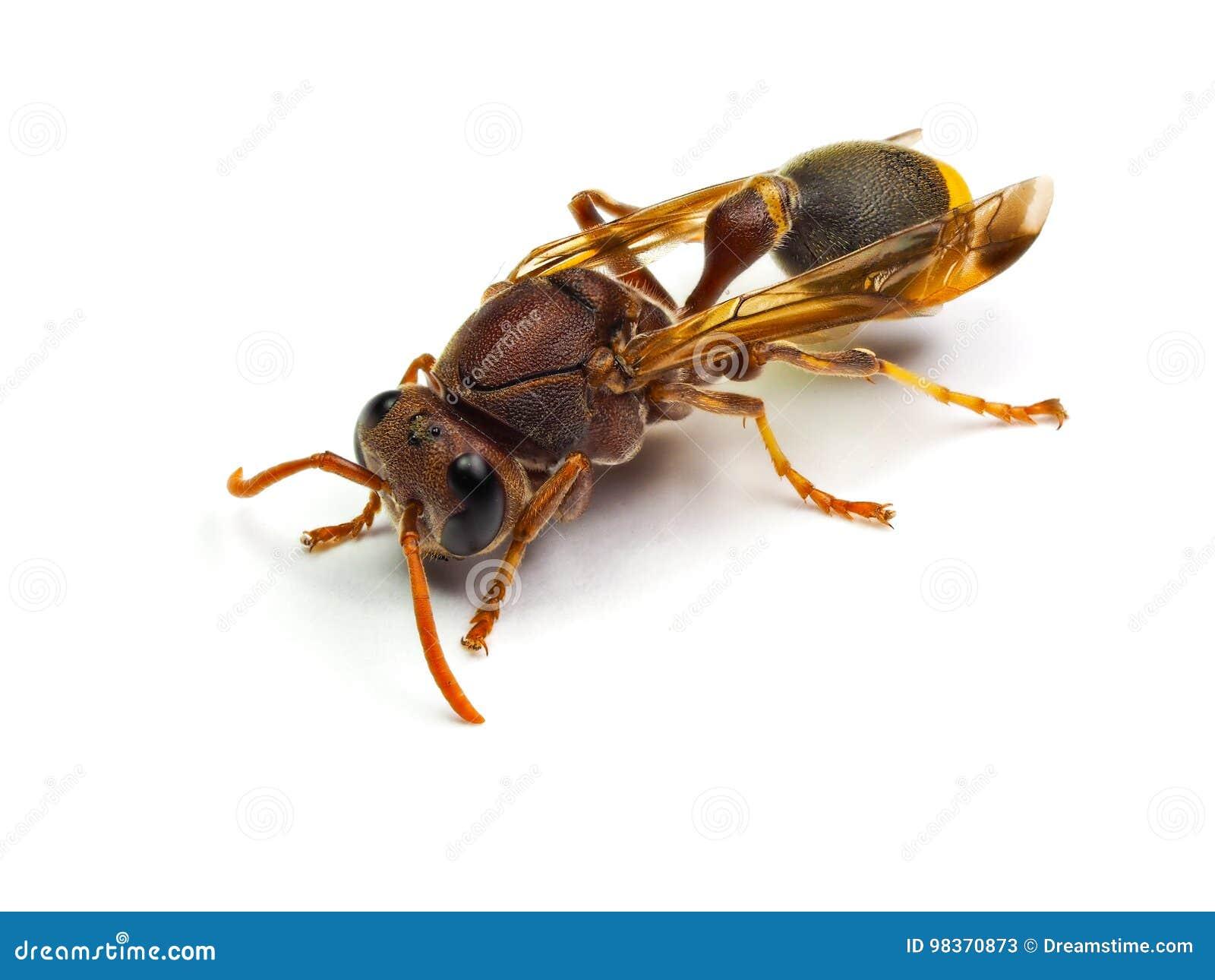 red wasp hornet isolated on white background stock image image of