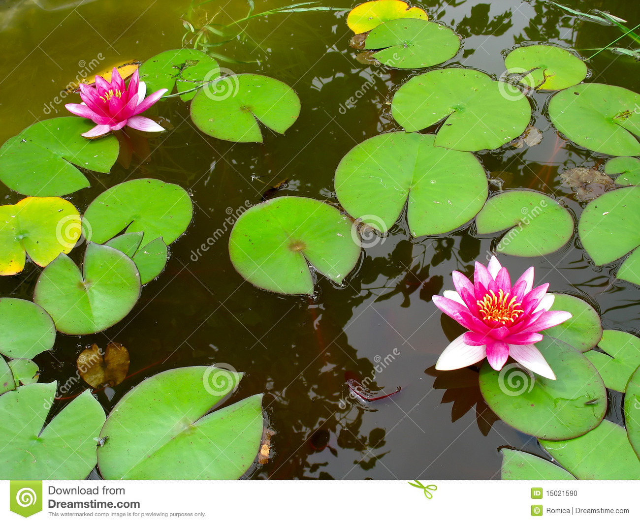 Red Water Lily Lotus Flower And Green Leaves Stock Photo Image Of