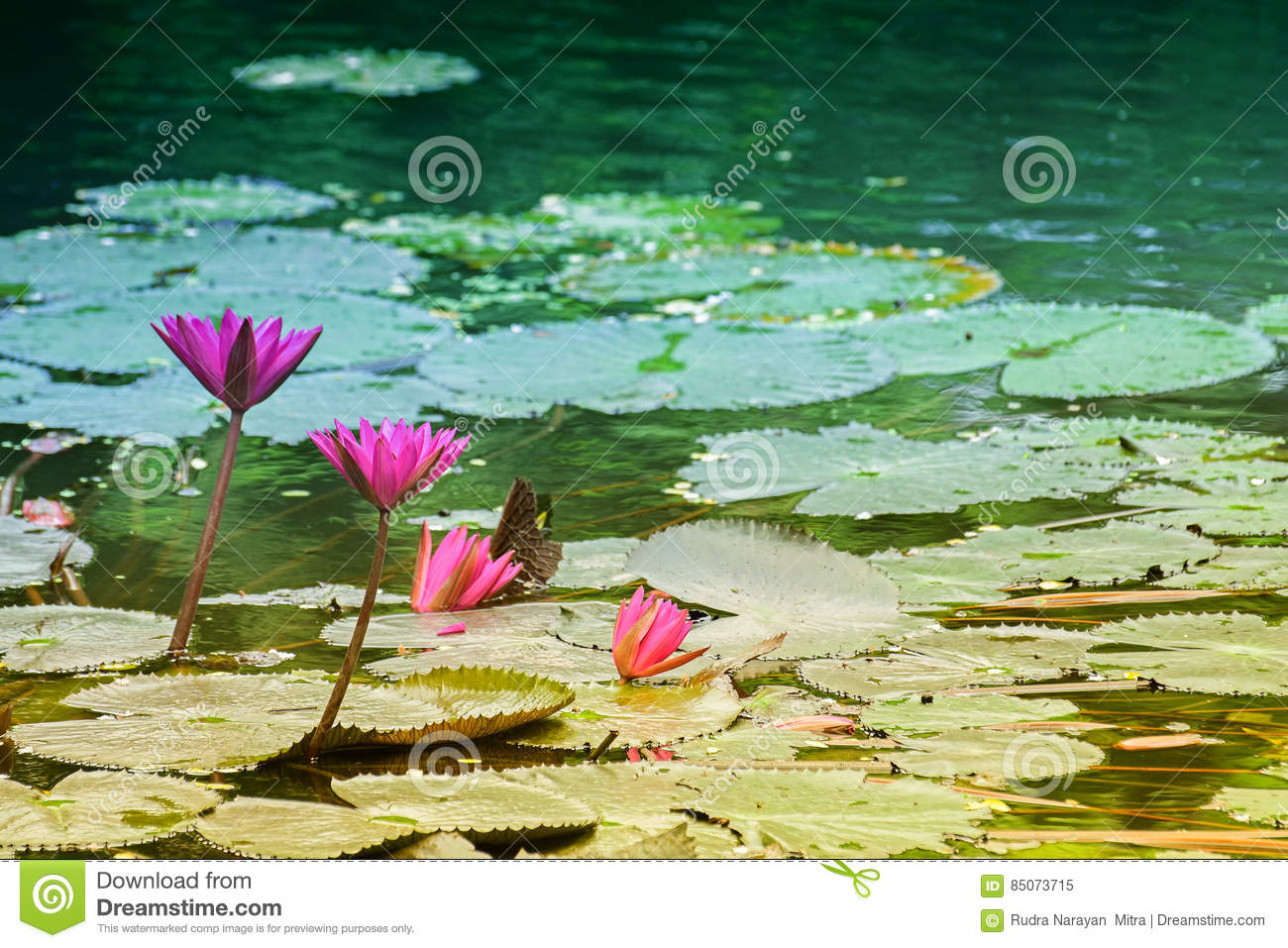 Red water lily national flower of sri lanka and bangladesh stock red water lily national flower of sri lanka and bangladesh izmirmasajfo