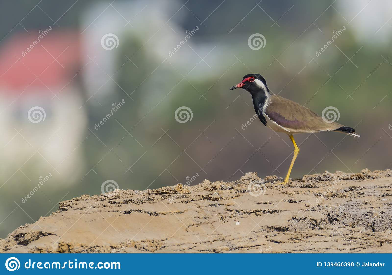 Red wattled lapwing or the Vanellus indicus