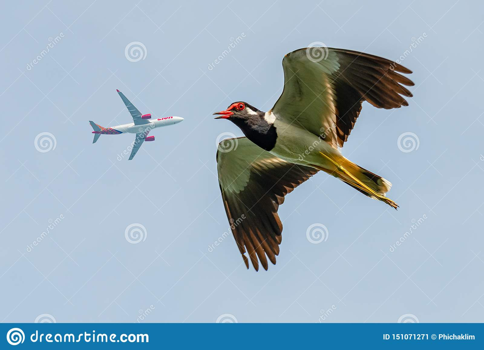 Red-Wattled Lapwing in flight with commercial airplane flying above as background