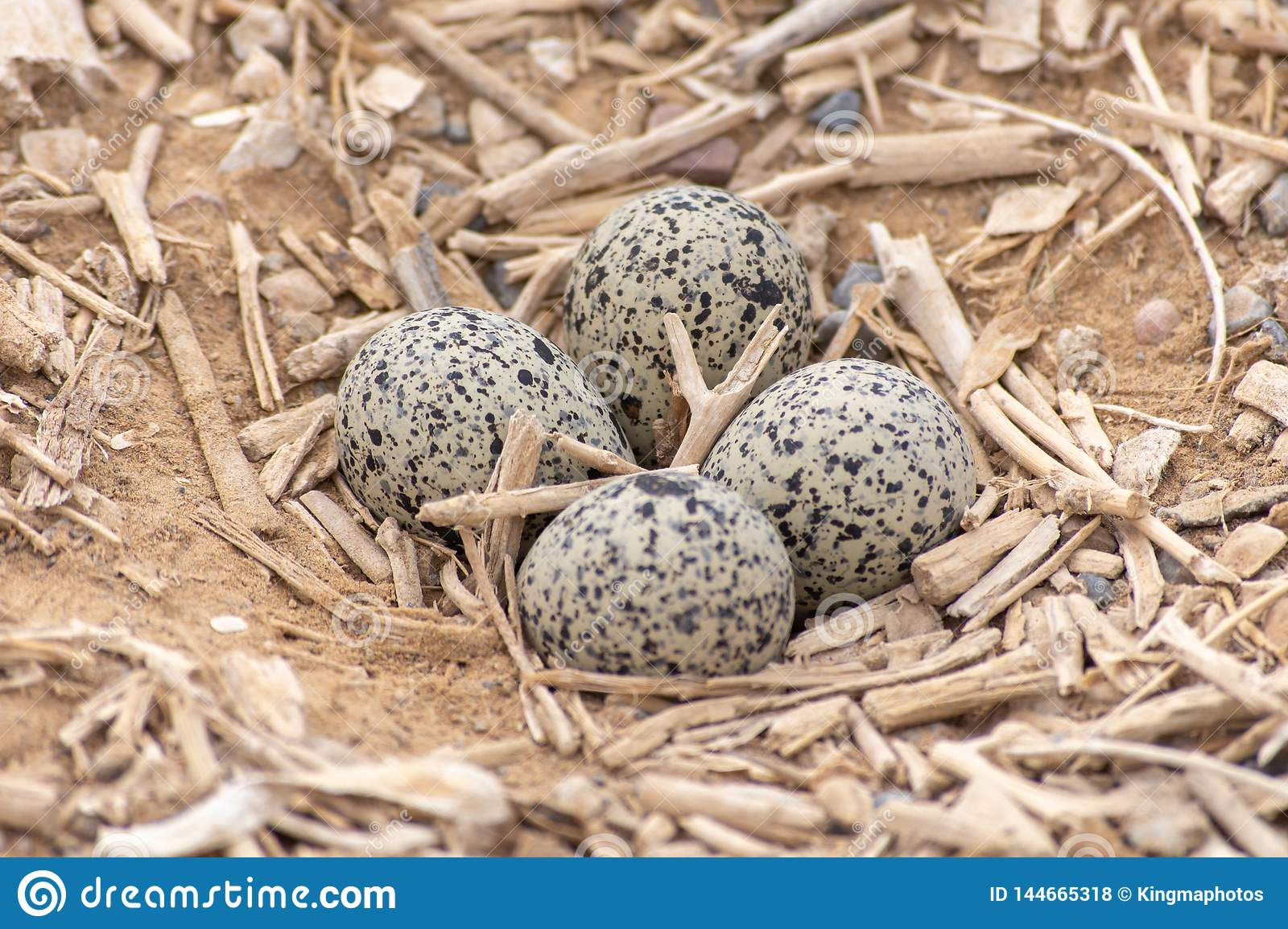 Red Wattled Lapwing Vanellus indicus nest of four eggs in the United Arab Emirates