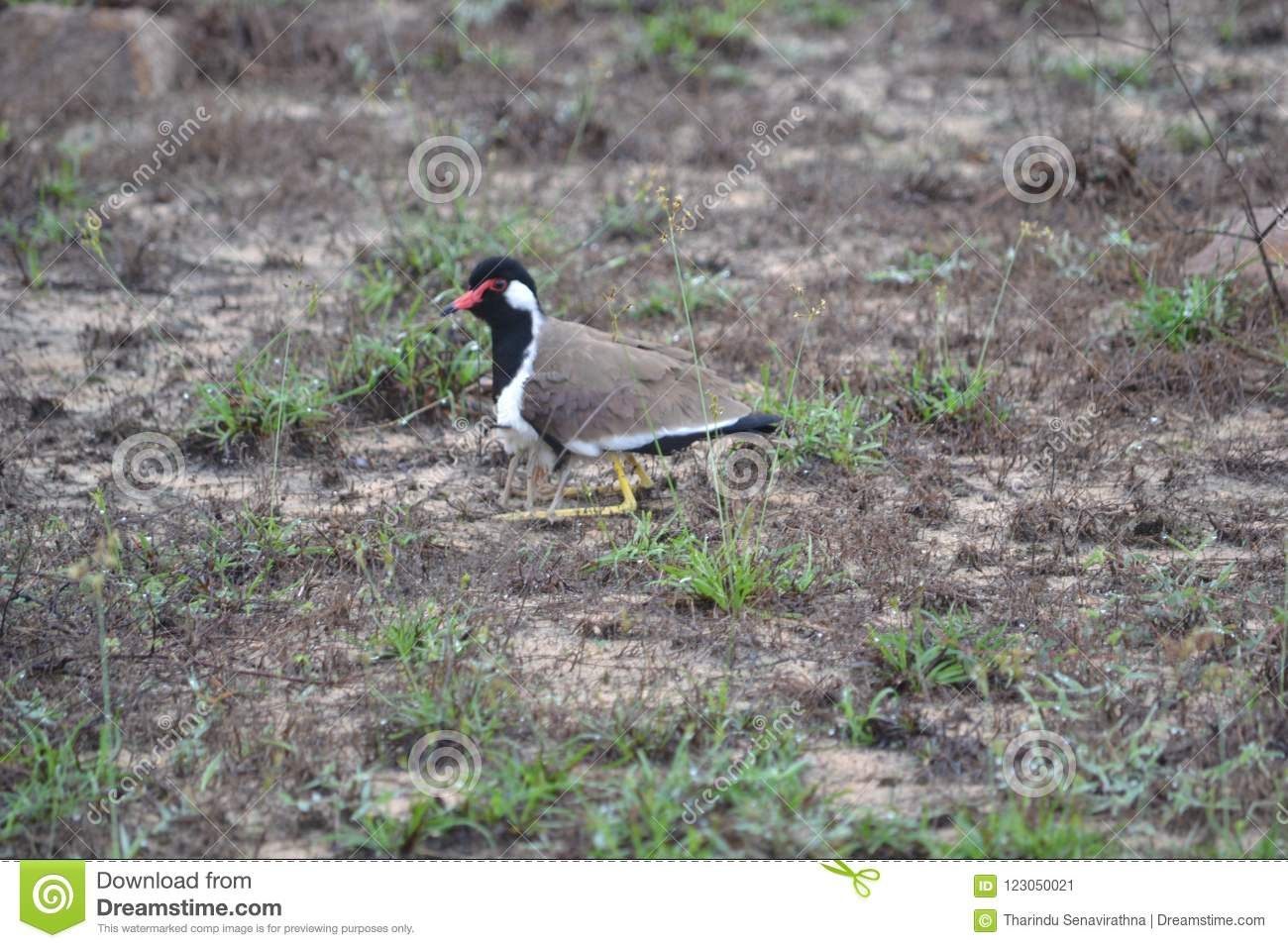 Red-wattled lapwing.Vanellus indicuscommon breeging resident throughout