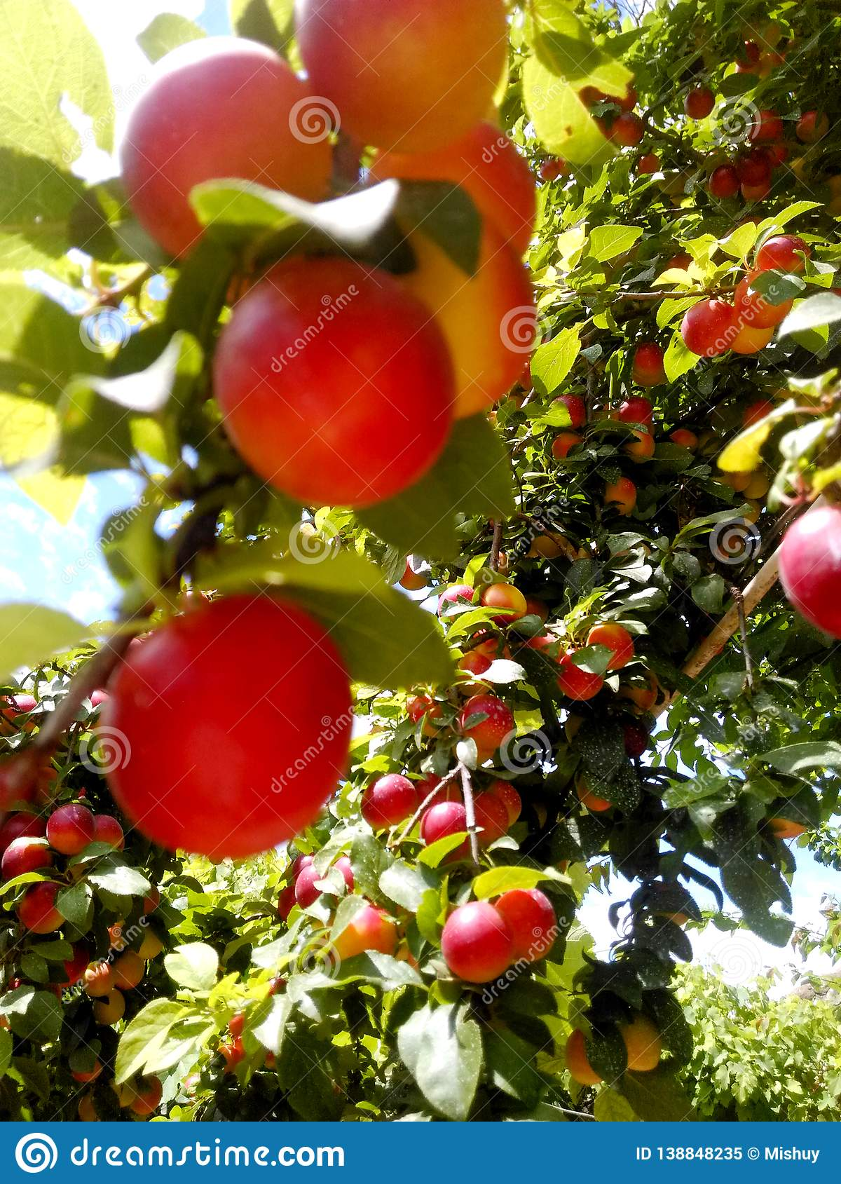 Red wax cherry tree branch with fruits