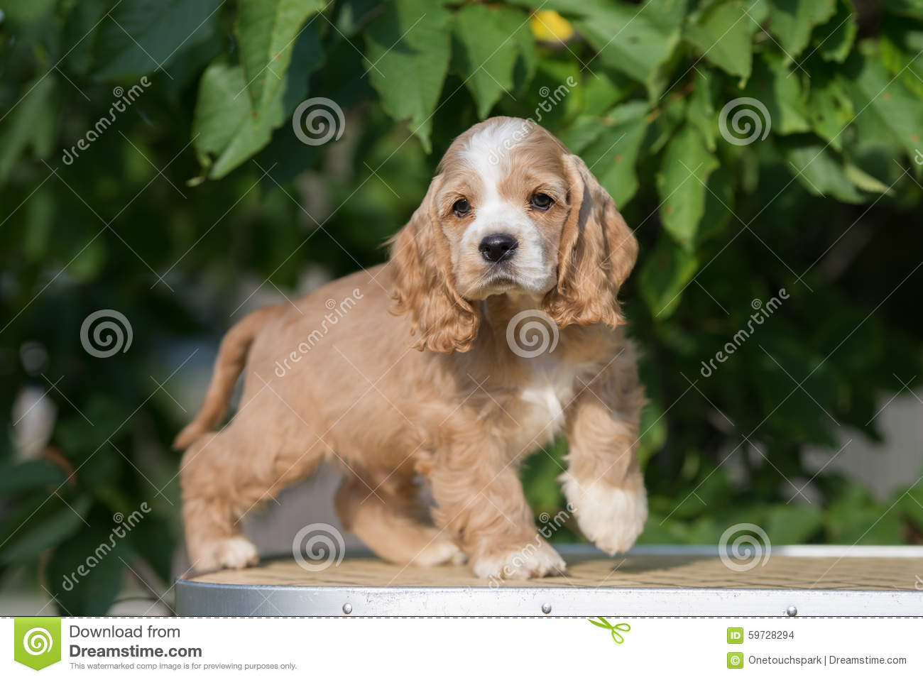 Red And White American Cocker Spaniel Puppy Stock Photo Image Of Beauty Fawn 59728294