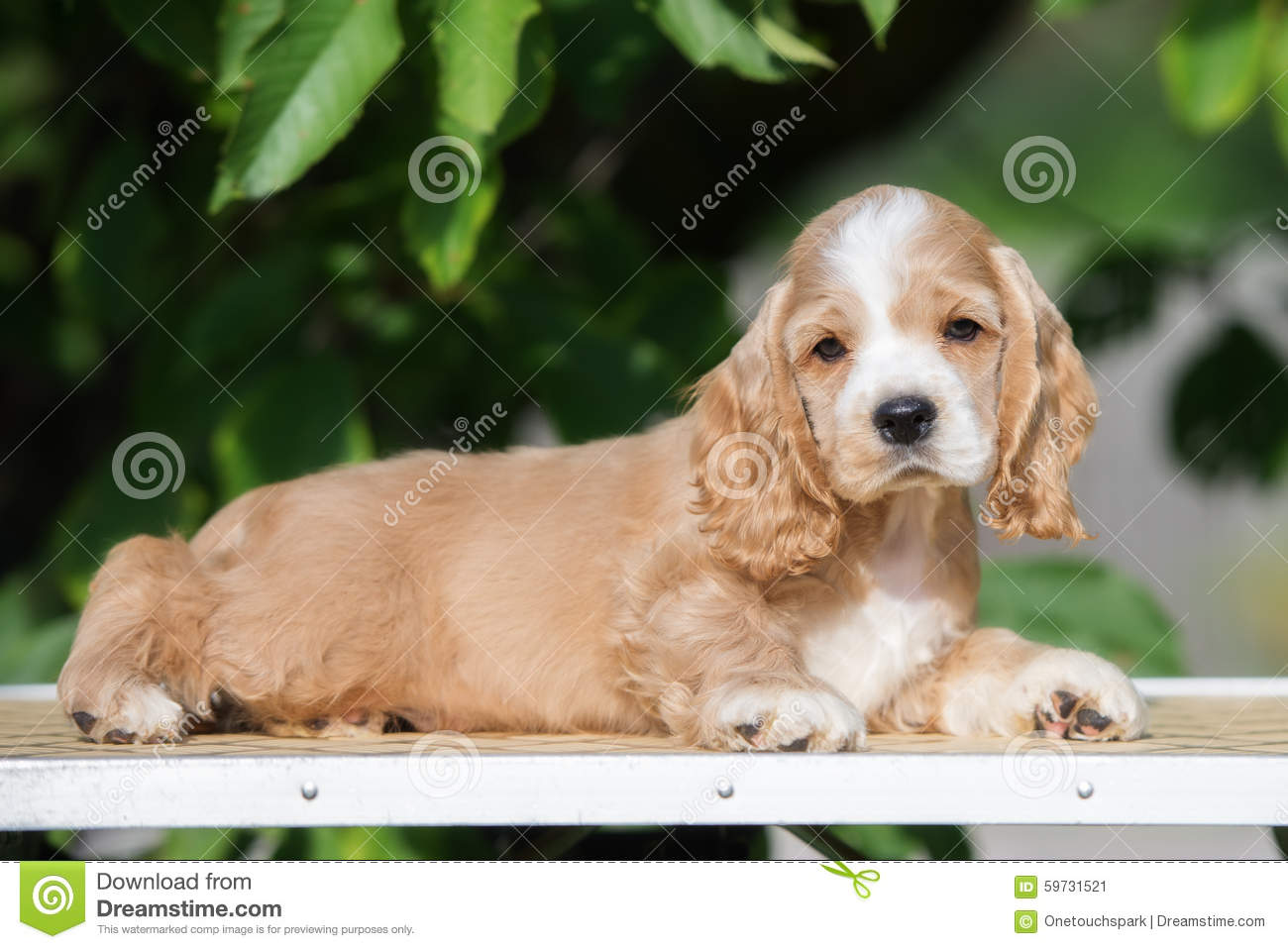 Red And White American Cocker Spaniel Puppy Stock Image Image Of Mammal Breed 59731521