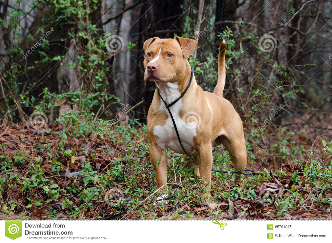 Red And White American Staffordshire Bull Terrier Stock