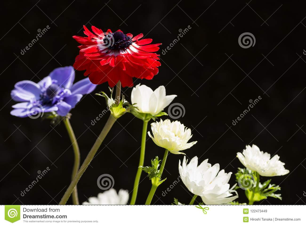 Red And White Anemone Stock Image Image Of Black Cultivation
