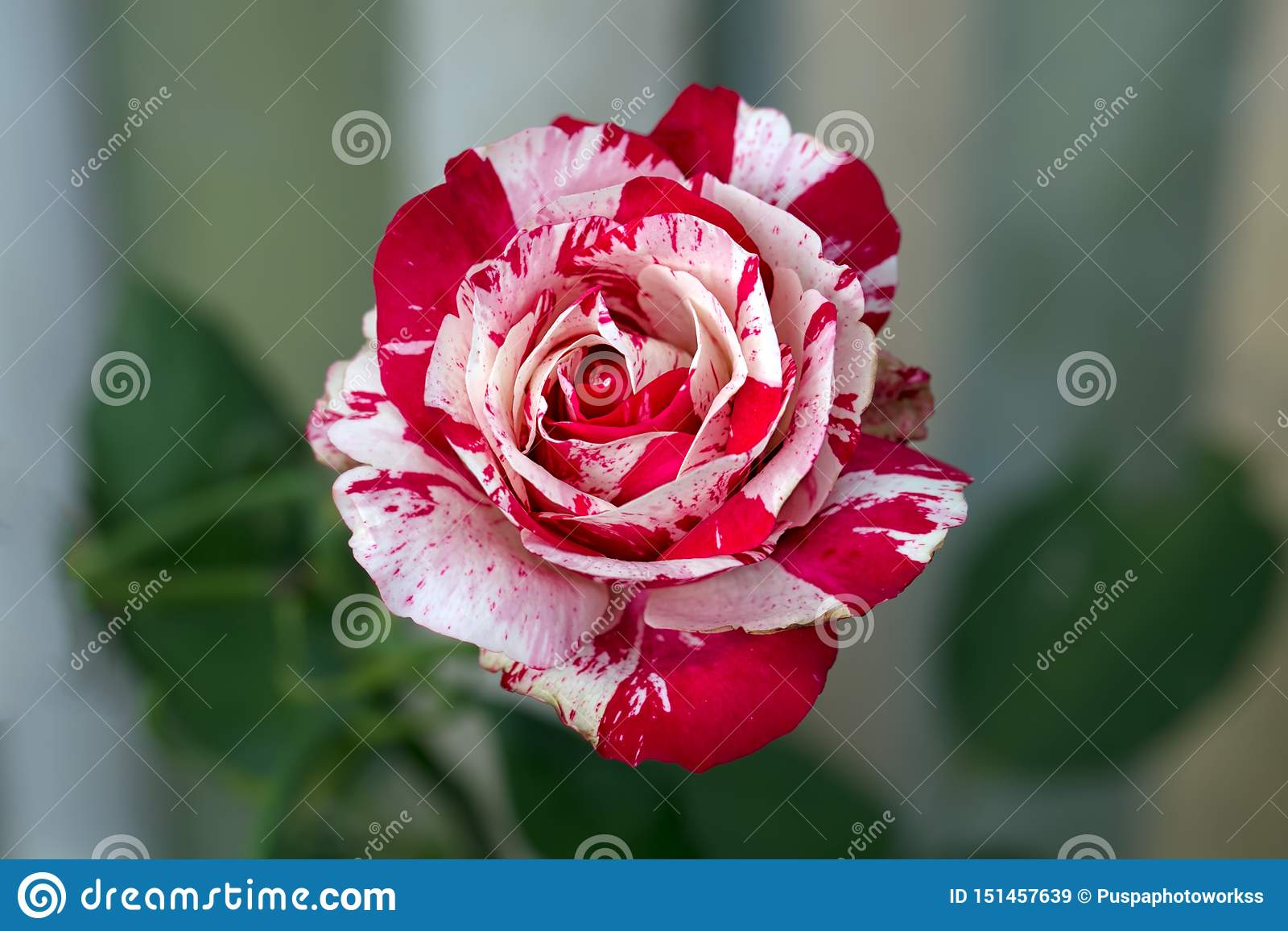 Red White Batik Roses With Green Blurry Background.. Just Say With Flower and Bright Your Day.