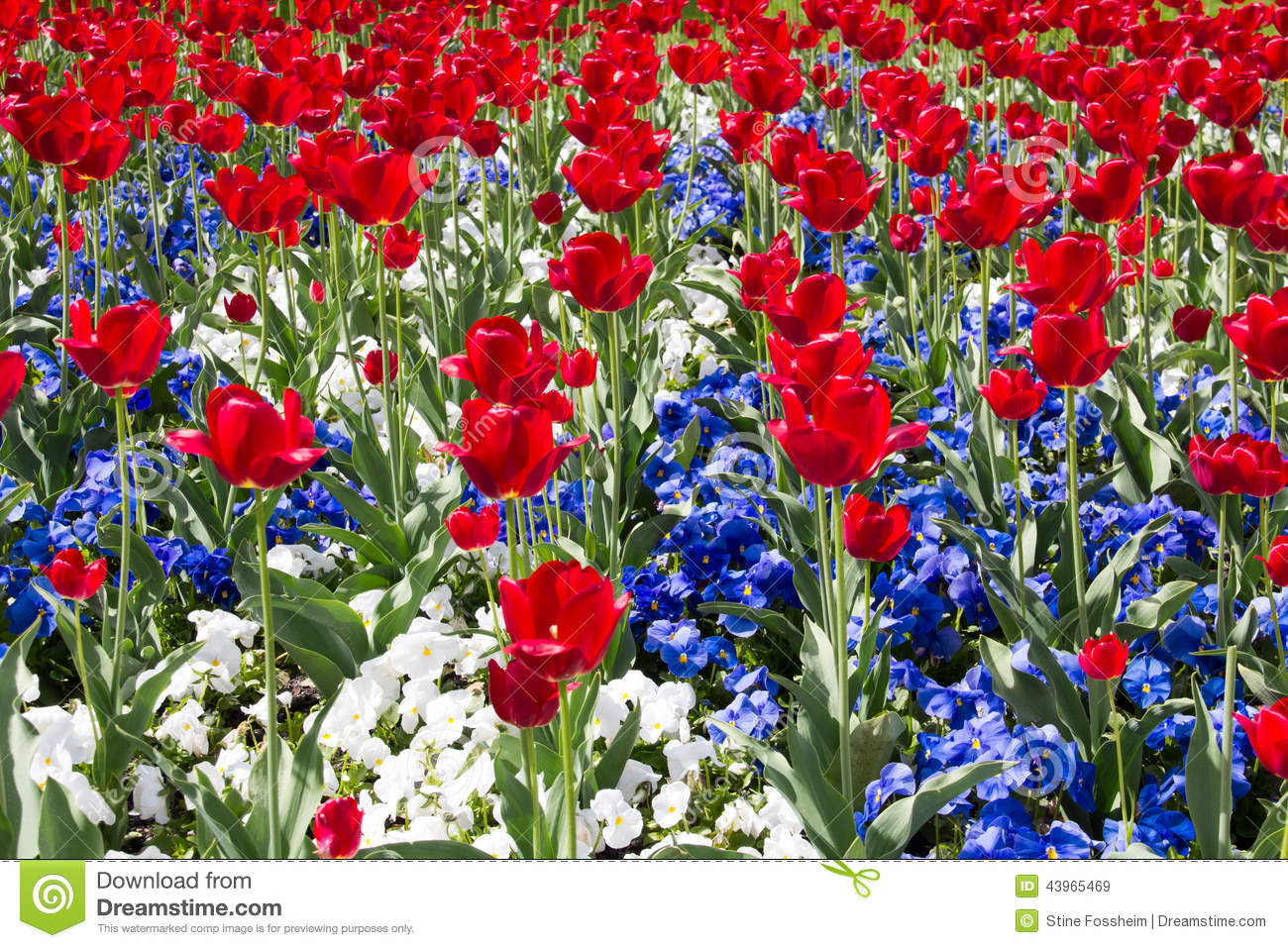 Red white and blue stock photo image 43965469 - Fleur bleu blanc rouge ...
