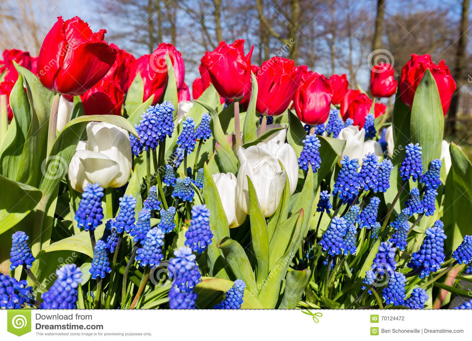 Red white blue flowers in spring season stock photo image of red white blue flowers in spring season izmirmasajfo Gallery