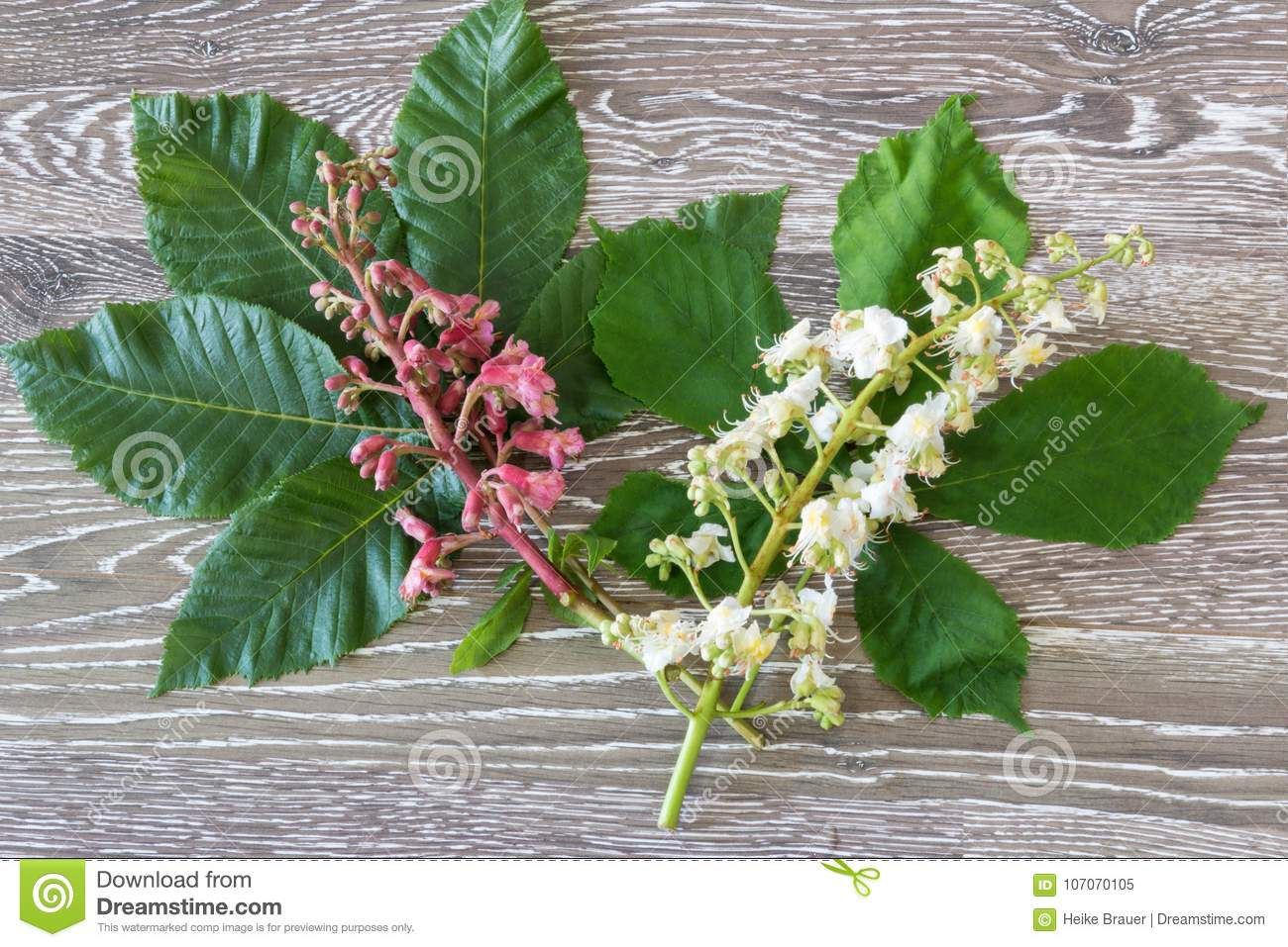 Red And White Chestnut Stock Image Image Of Flower 107070105
