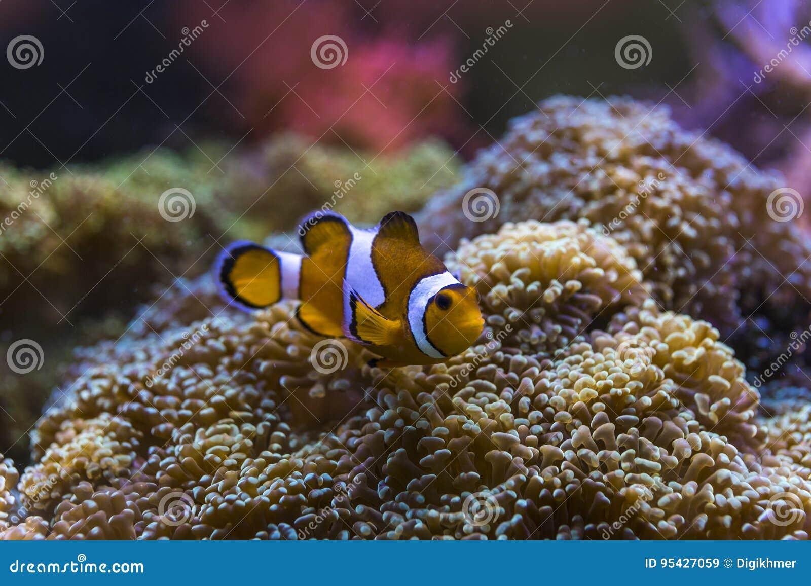 Red white clown fish