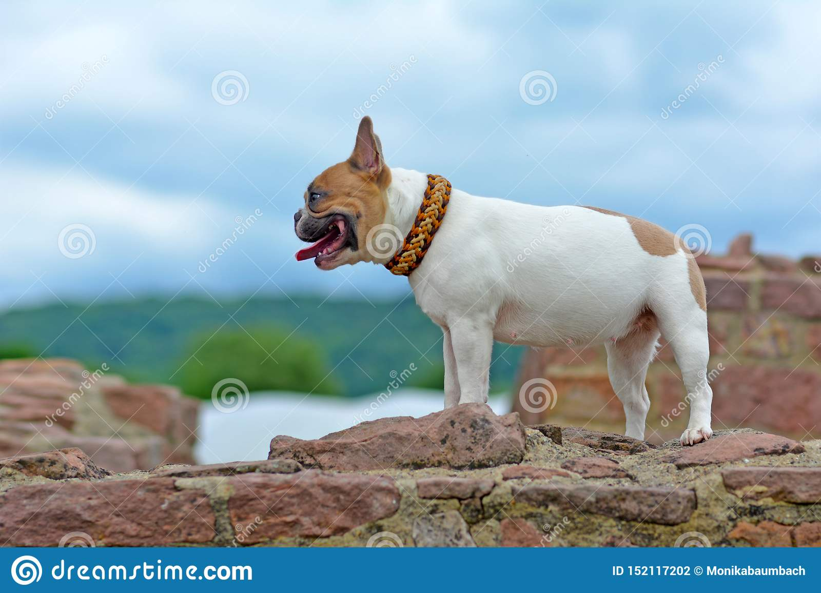 Red And White Pied French Bulldog Dog With Paracord Collar Standing On Old Ruins Wall Looking To The Side Stock Photo Image Of Animal Portrait 152117202