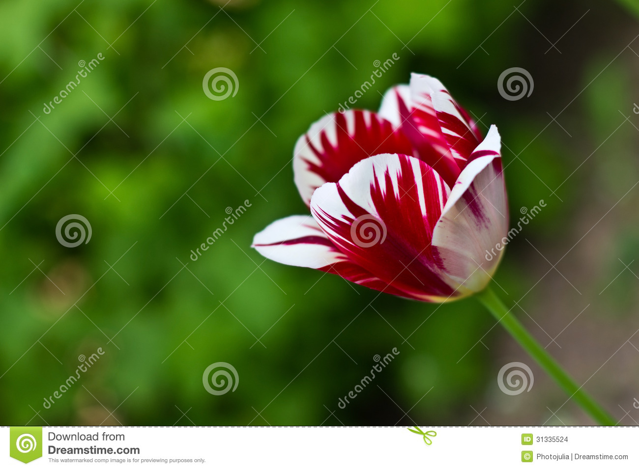 Red White Flower Tulip Stock Photo Image Of Floriculture 31335524