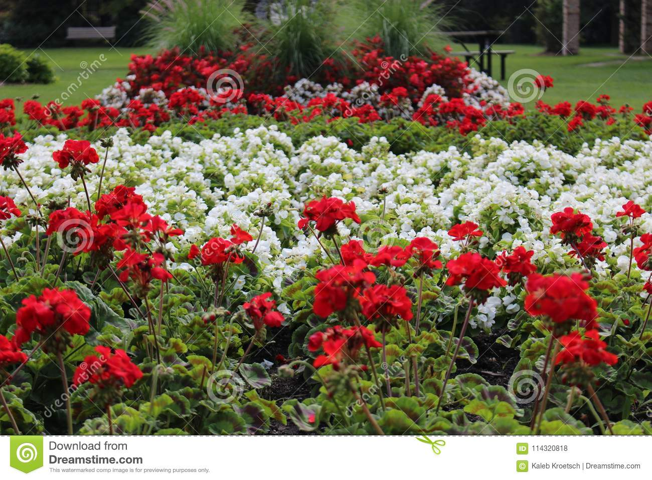 Red and white flowers depicting the national flag of canada download red and white flowers depicting the national flag of canada specially created to celebrate the mightylinksfo