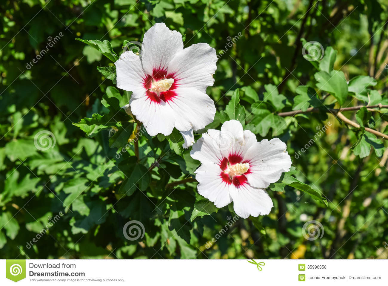 Red White Flowers With Five Petals Two Flowers Are Not Branches
