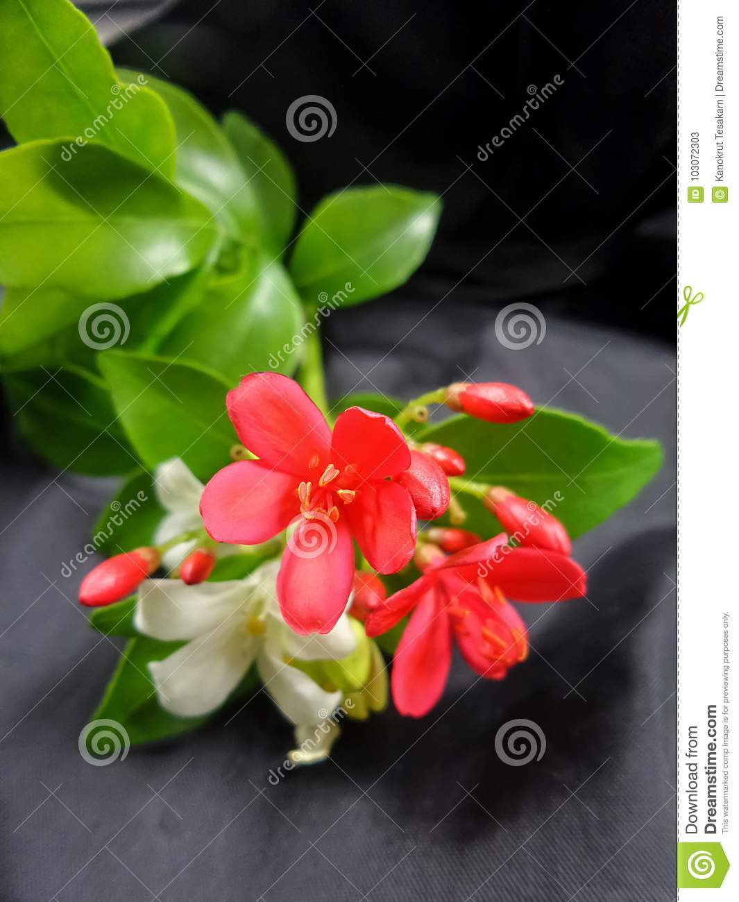 Red and white flowers with green leaves on black backgroud stock download red and white flowers with green leaves on black backgroud stock image image of mightylinksfo