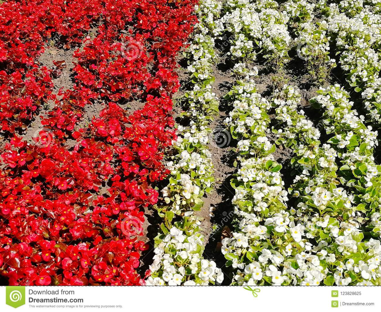 Red And White Flowers Representing Poland Flag Stock Image Image