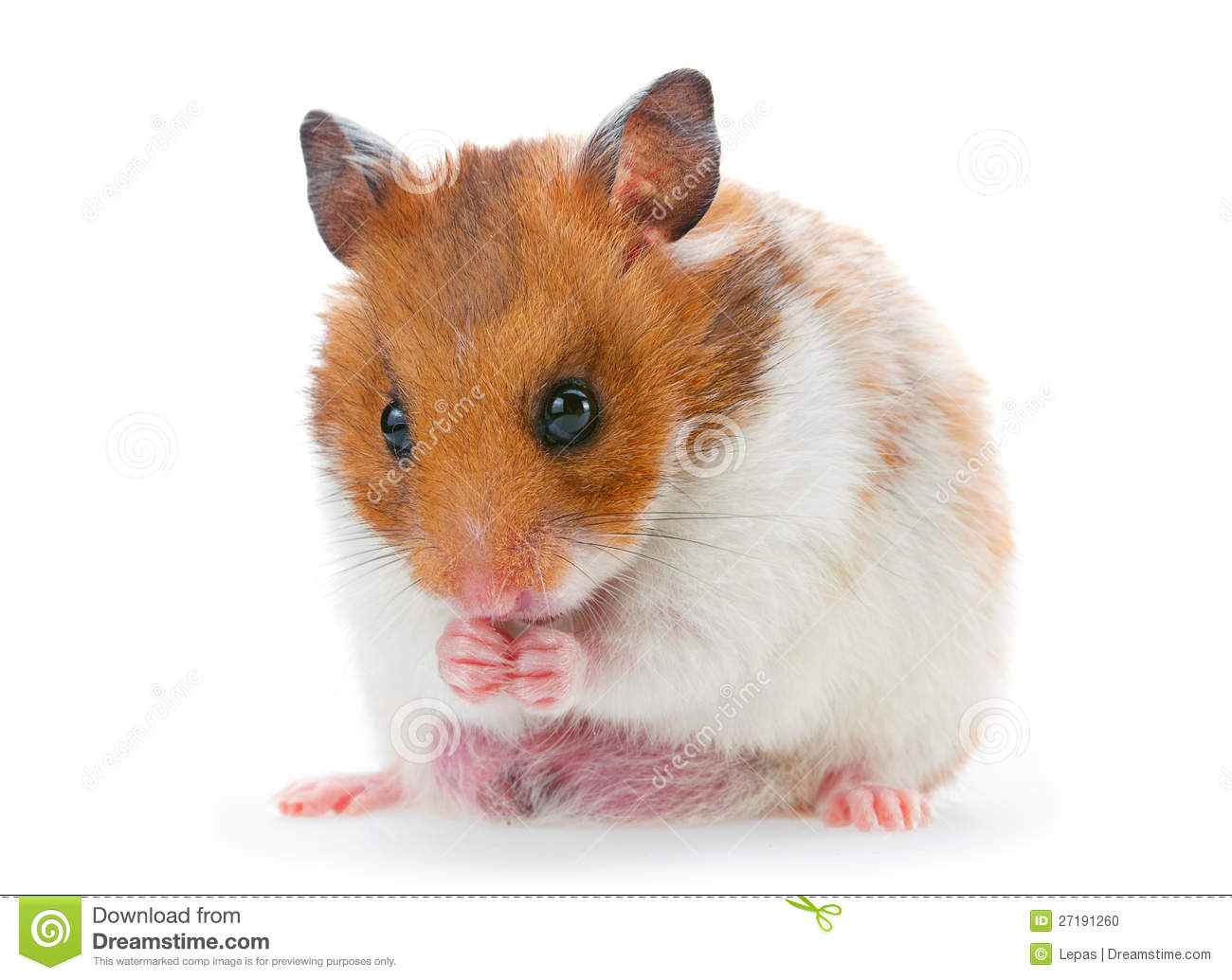 red hamster