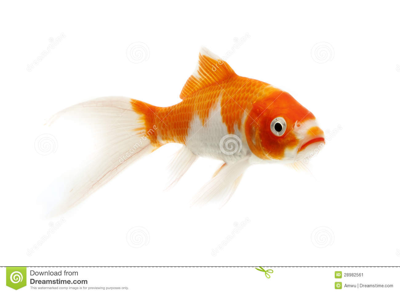 Red and white koi fish stock image image of domestic for Red koi carp